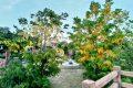 [新竹湖口賞花景點]公兒五公園,黃金阿勃勒浪漫黃金雨全面盛開中!